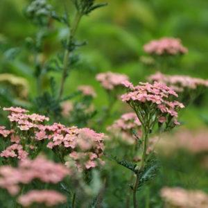 Achillea 'Lachsschonheit' - bloem