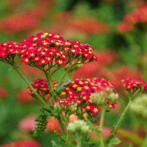 Achillea 'Paprika' - bloem