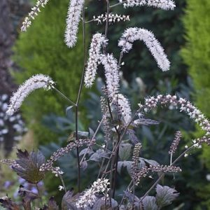 Actaea 'Queen of Sheba'