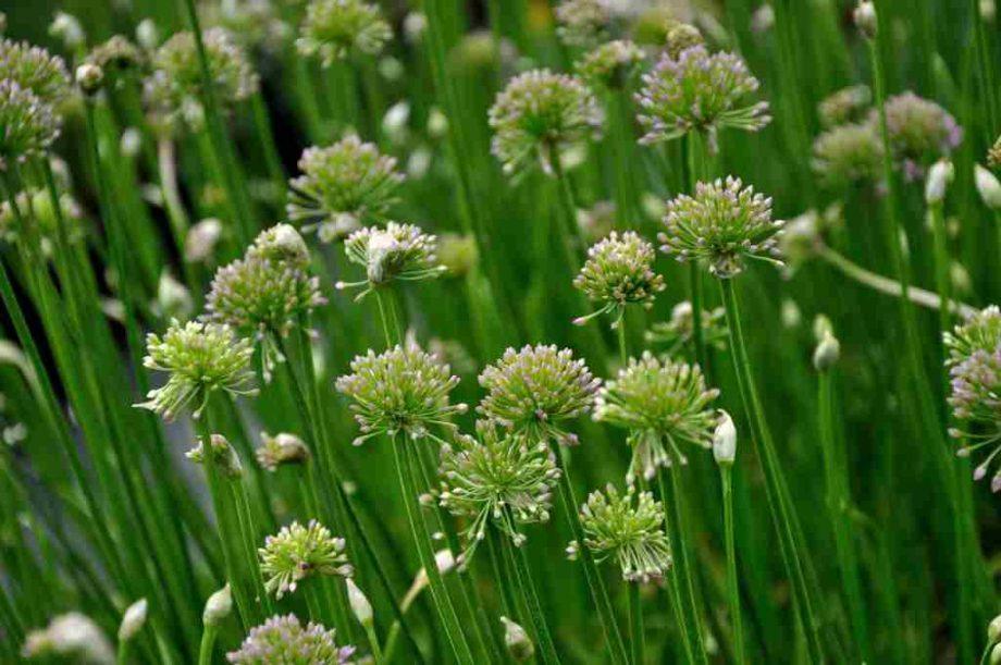 Allium 'Avatar'