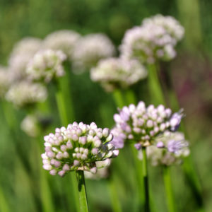 Allium 'Summer Beauty' - bloei