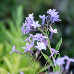 Amsonia orientalis - bloem