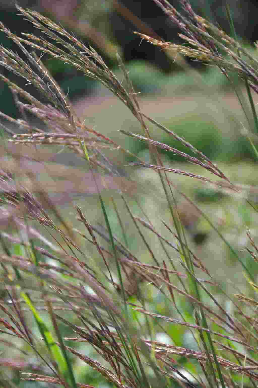 Andropogon gerardii - bloem
