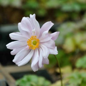 Anemone 'Mont Rose'