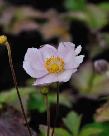 Anemone 'Ouverture'