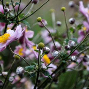 Anemone hybride 'Serenade'
