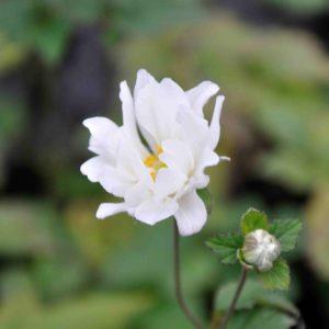 Anemone hybride 'Whirlwind'