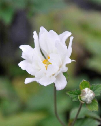 Anemone hybride 'Whirlwind'