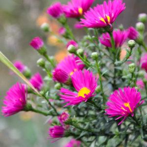 Aster 'Crimson Brocade' - bloem