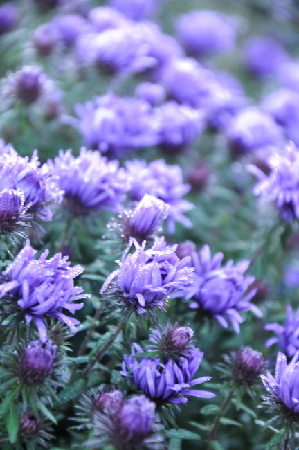 Aster 'Purple Dome' - bloei
