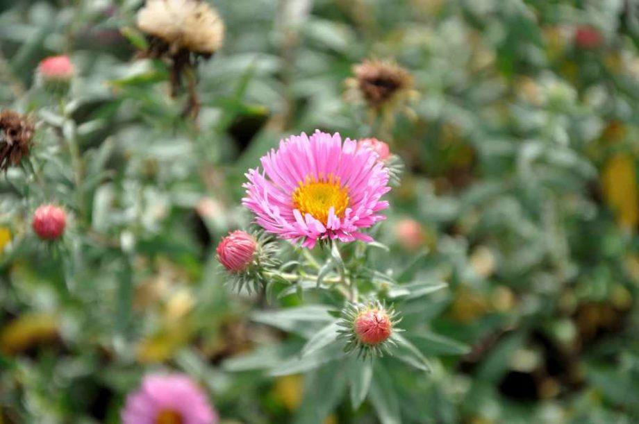 Aster novae-angliae 'Pink September'