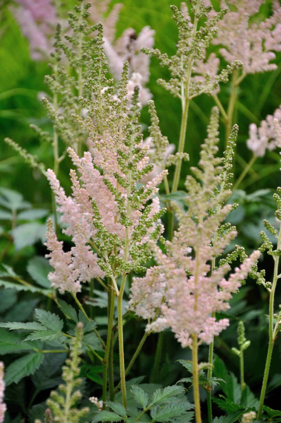 Astilbe chinensis 'Vision Inferno'