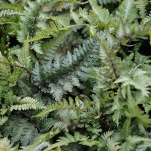 Athyrium 'Metallicum' - blad