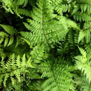 Athyrium vidalii - blad