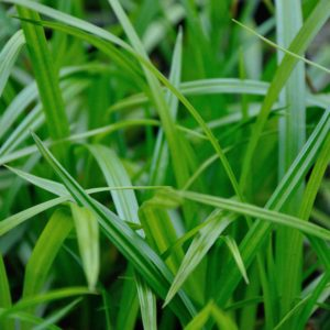 Carex 'Irish Green' - blad