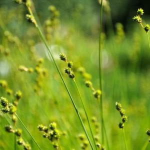 Carex brevior - bloem