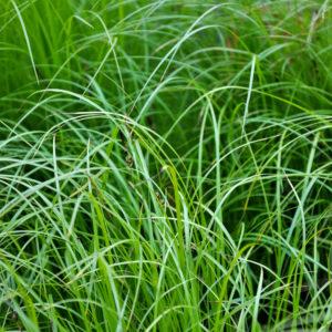 Carex pensylvanica
