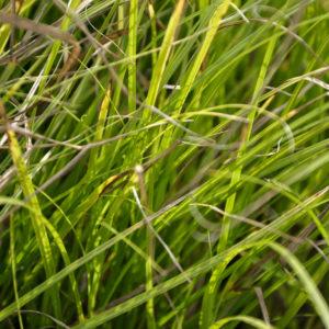 Carex tribuloides