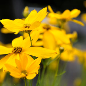 Coreopsis verticillata - bloem