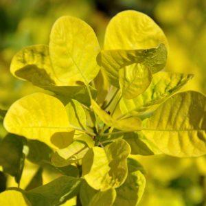 Cotinus coggygria 'Golden Spirit' - blad