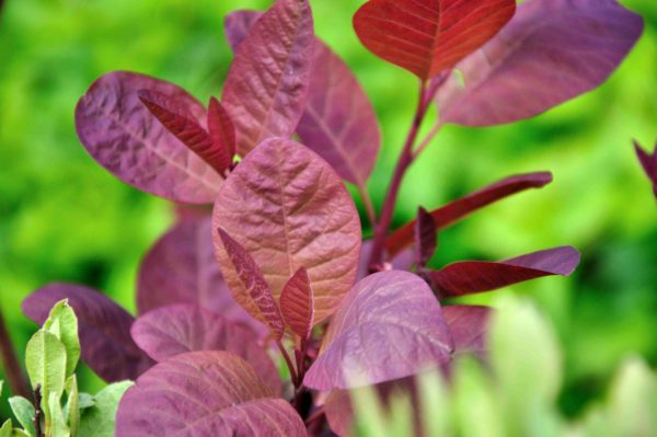 Cotinus 'Grace' – blad