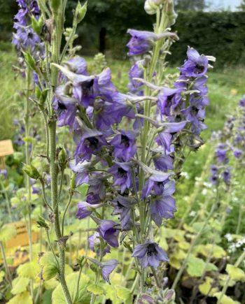 Delphinium vestitum