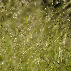 Deschampsia cespitosa `Goldtau´