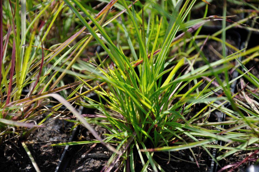 Dianthus carthusianorum - blad