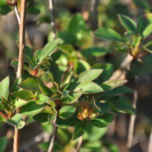 Enkianthus campanulatus - blad