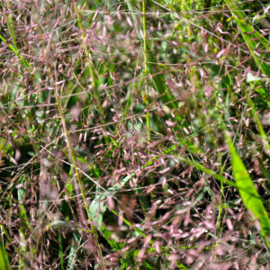 Eragrostis spectabilis - bloem