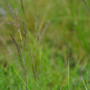 Festuca amethystina - bloem