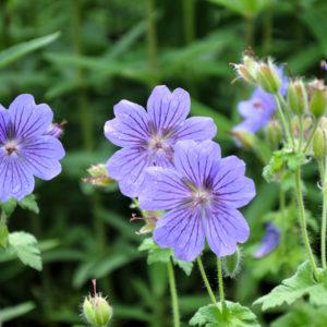 Geranium 'Rosemoor' - bloem
