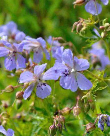 Geranium pratense 'Blue Lagoon'