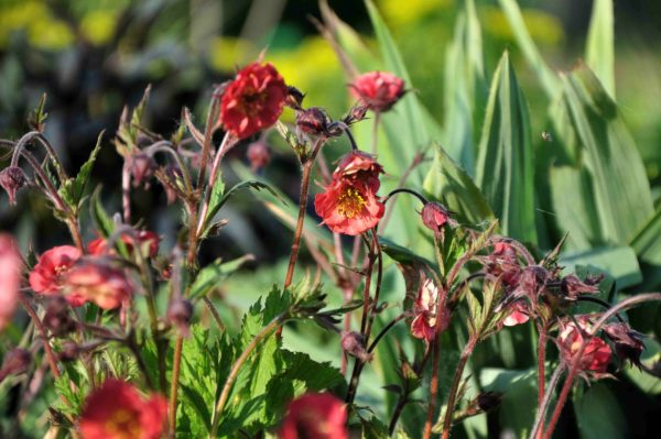 Geum 'Flames of Passion' - bloem