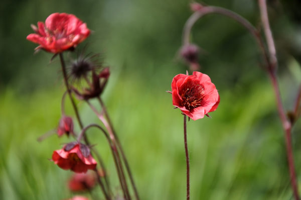 Geum 'Flames of Passion' - bloem_01