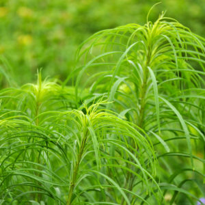 Helianthus salicifolia - bloem