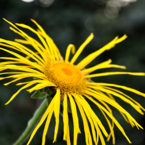 Inula 'Sonnenstrahl' - bloei
