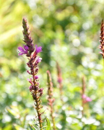 Lythrum salicaria 'Robin'