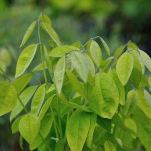 Maackia amurensis - blad