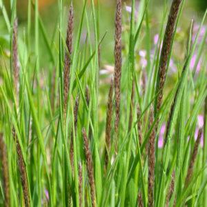 Melica ciliata - bloem