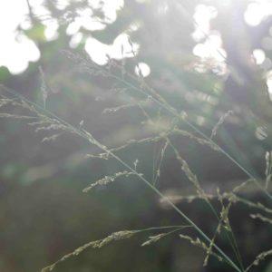 Molinia arundinacea 'Skyracer'