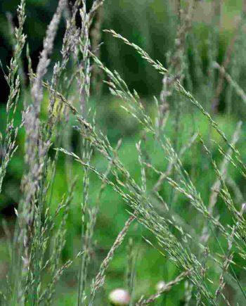 Molinia caerulea 'Moorflamme'