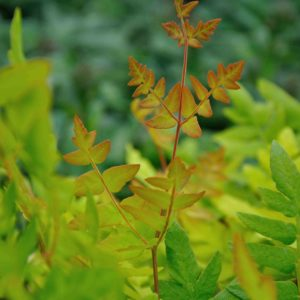Osmunda regalis 'Purpurascens' - blad