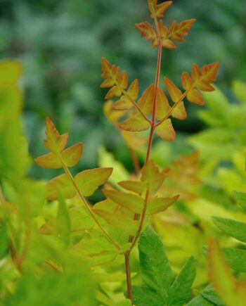 Osmunda regalis 'Purperascens'