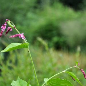 Persicaria orientalis 'Kiss me over the garden Gate'