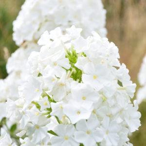 Phlox 'David' - bloem