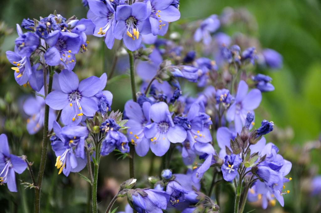 Polemonium 'Bressingham Purple' - bloem