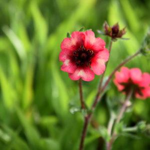 Potentilla 'Miss Willmott' - bloem