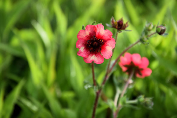 Potentilla 'Miss Willmott' - bloem