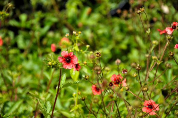 Potentilla 'Miss Willmott' - bloem_02